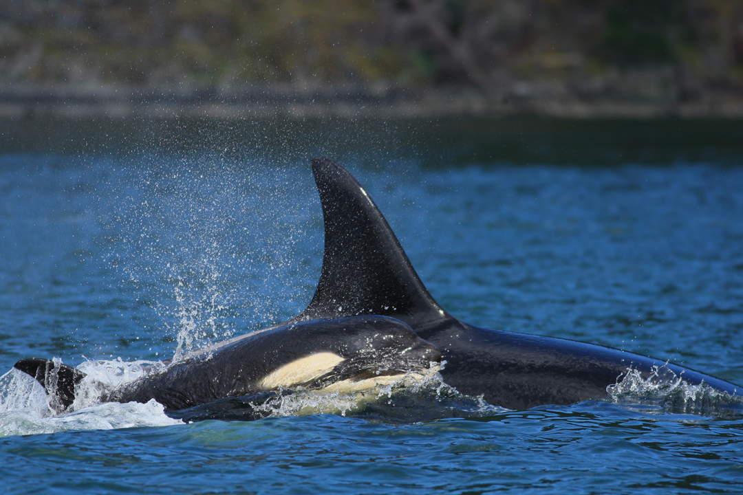 Orca Mom & Baby