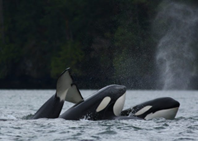 Transient Orca Party! If you look closely, there is a baby in this photo. Can you see it?