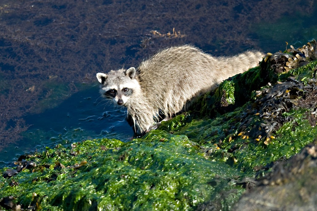 Raccoon_2296_Web